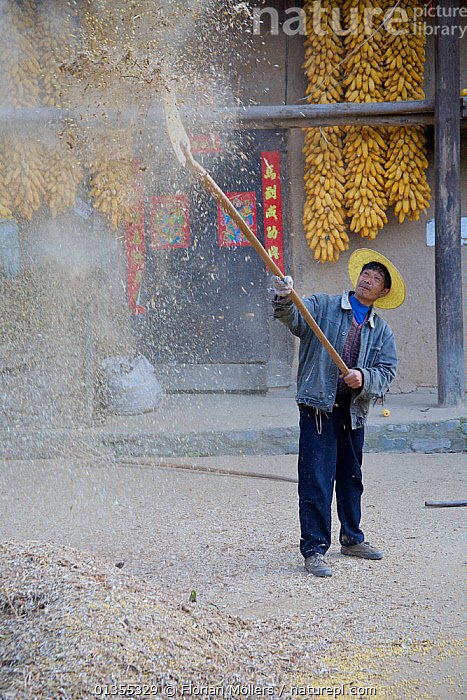 Chinese farmers 'separating the wheat from the chaff', here with yellow peas (Pisum sativum). Zhouzhi Nature Reserve, Shaanxi, China, October 2006.  ,  AGRICULTURE,ASIA,BUILDINGS,catalogue4,chaff,CHINA,Chinese ethnicity,coat,CROPS,dust,Farmer,farming,food,full length,hat,holding,looking up,MAN,mid adult,one man only,one person,PEOPLE,Pisum sativum,RESERVE,Shaanxi,STANDING,street,TRADE,TRADITIONAL,VERTICAL,wheat,WORKING,Yellow peas,Zhouzhi Nature Reserve  ,  Florian Möllers
