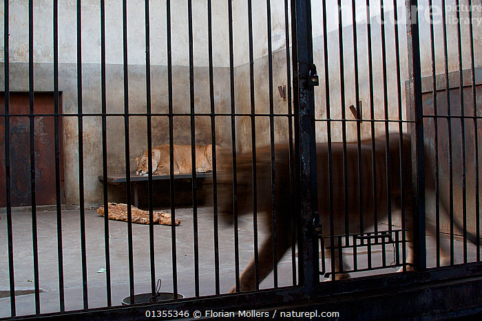 African Lions (Panthera leo) in a bare cage in Beijing Zoo, China, November.  ,  ASIA,Beijing,BIG CATS,blurred motion,cage,cages,captive,captive animal,CARNIVORES,catalogue4,CHINA,close up,depression,felidae,frustration,LIONS,MAMMALS,motion,Nobody,pacing,SAD,three animals,trapped,VERTEBRATES,zoo,Concepts  ,  Florian Möllers