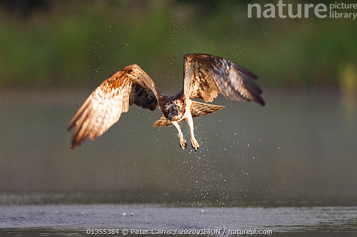 """Osprey (Pandion haliaeetus) in flight, fishing at dawn, Rothiemurchus forest, Cairngorms NP, Scotland, UK, July. Photographer quote: """"""""This female, caught at first light, has two hungry chicks waiting at her treetop nest in a nearby pine forest. As she took off with an explosion of water droplets, I knew it was the shot I�d been trying to get for 3 days."""" Did you know? From just a single pair in 1954, ospreys have now extended their range throughout Scotland and through reintroductions, into other parts of the UK. The British population is now upwards of 200 pairs., PICDAY,2020VISION,BIRDS,BIRDS OF PREY,cairngorms,DAWN,EUROPE,FISH,FISHING,FLYING,MIST,NP,OSPREYS,pca_10_090911_84,RESERVE,RIVERS,SCOTLAND,UK,VERTEBRATES,WATER,National Park,United Kingdom,2020cc, Peter Cairns / 2020VISION"""