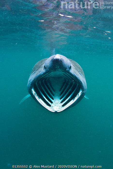 Basking shark (Cetorhinus maximus) with mouth wide open feeding on plankton concentrated in surface waters close to the island of Coll, Inner Hebrides, Scotland, UK, June 2011. 2020VISION Exhibition. 2020VISION Book Plate., 2020VISION,2020vision book plate,2020vision exhibition,ATLANTIC,BEHAVIOUR,cartilaginous,Cetorhinidae,CHONDRICHTHYES,FISH,looking at camera,MARINE,press image,publicity image,SCOTLAND,seas,SHARKS,TEMPERATE,UK,UNDERWATER,VERTEBRATES,VERTICAL,Europe,United Kingdom,2020cc, Alex Mustard / 2020VISION