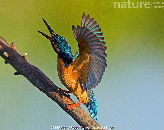Kingfisher (Alcedo atthis) territorial display to warn rivals. Castro Verde, Alentejo, Portugal, April., AGGRESSION,ALCEDINIDAE,Alentejo,animal behaviour,BEHAVIOUR,BIRDS,branch,Castro Verde,catalogue4,DEFENSIVE,DISPLAY,EUROPE,full length,KINGFISHERS,MALES,Nobody,one animal,open beak,PORTUGAL,preparation,rivalry,side view,STANDING,TERRITORIAL,Threats,VERTEBRATES,VOCALISATION,warning,WILDLIFE,WINGS,wings spread,Communication, Roger Powell