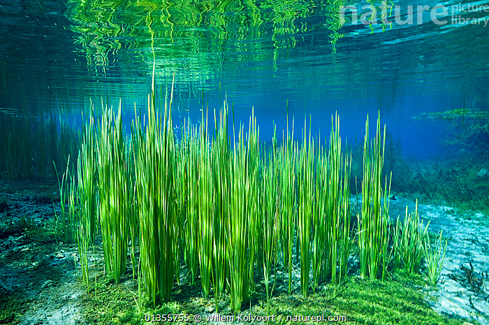 Aquatic plants in River Black Drim, Albania, Eastern Europe, May  ,  Albania,aquatic plant,balkans,BLUE,catalogue4,eastern europe,EUROPE,FRESHWATER,Grass,GREEN,GROWTH,LANDSCAPES,nature,Nobody,plantlife,PLANTS,reflection,River Black Drim,riverbed,RIVERS,TEMPERATE,UNDERWATER,WATER,Concepts  ,  Willem Kolvoort