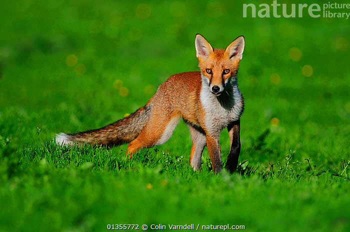 Young Fox (Vulpes vulpes) in summer. Dorset, UK, July., CANIDS,CARNIVORES,EUROPE,FOXES,JUVENILE,LOOKING AT CAMERA,MAMMALS,PORTRAITS,UK,VERTEBRATES,YOUNG,United Kingdom,Dogs, Colin Varndell