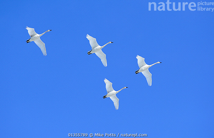 Flock of Trumpeter swans (Cygnus buccinator) in flight over Marsh Lake, preparing to land for resting and feeding during their long flight north to the breeding grounds in Alaska, Marsh Lake, Yukon, Canada, April  ,  Anatidae, BIRDS, BLUE, CANADA, FLOCKS, FLYING, FOUR, GROUPS, LOW-ANGLE-SHOT, MIGRATION, NORTH-AMERICA, SPRING, SWANS, VERTEBRATES, WATERFOWL, WHITE,North America,Wildfowl  ,  Mike Potts