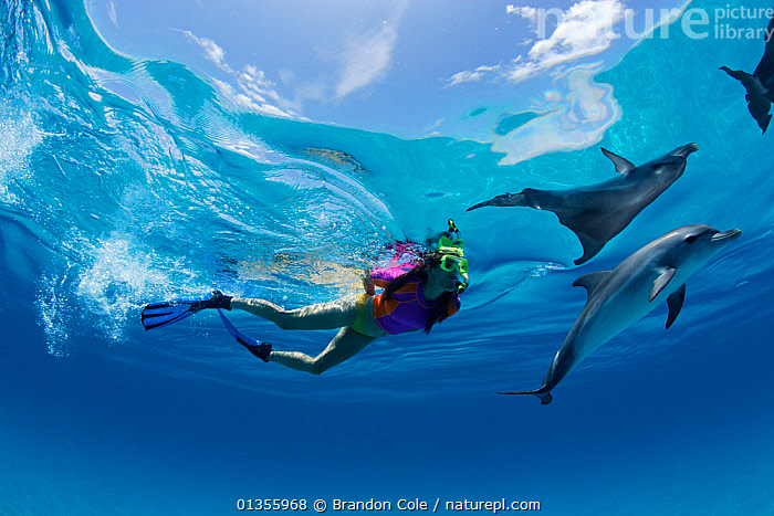 Atlantic Spotted Dolphin (Stenella frontalis) interacting with a person snorkeling. Bahamas, Atlantic Ocean, July.  ,  ATLANTIC OCEAN,BAHAMAS,CETACEANS,DIVING,DOLPHINS,MAMMALS,MARINE,PATTERNS,PEOPLE,REFLECTIONS,SURFACE,TROPICAL,UNDERWATER,VERTEBRATES,WATER PURSUITS  ,  Brandon Cole