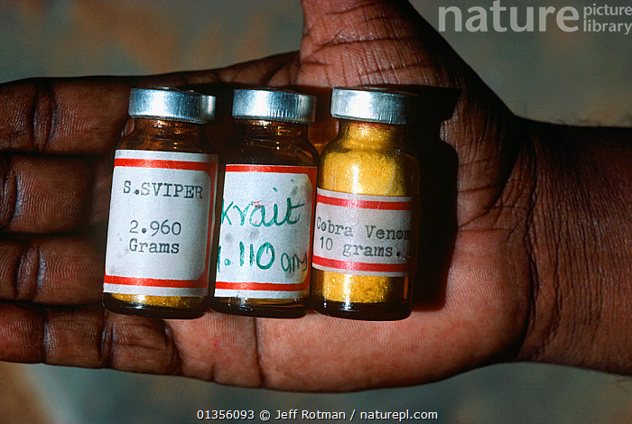 Irula Snake Tribe member holding vials of snake anti-venom for Viper, Krait and Cobra bites. Southern India.  ,  anti venom,ASIA,asian ethnicity,bottles,catalogue4,close up,cure,HANDS,holding,india,INDIAN SUBCONTINENT,Irula Snake Tribe,Irula tribe,local people,MAN,medicinal,medicine,medicine bottle,one person,palm of hand,part of,PEOPLE,poison,POISONOUS,REPTILES,Snake,SNAKES,three objects,Venomous,vial  ,  Jeff Rotman