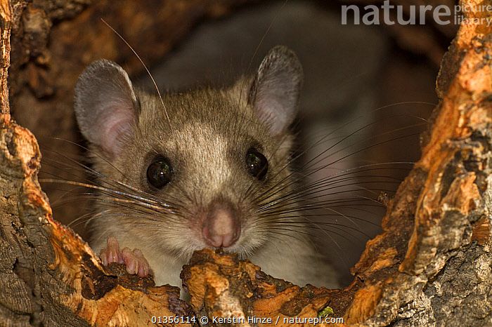 Fat / Edible dormouse (Glis glis) Lower Saxony, Germany, captive, ARBOREAL,CAPTIVE,CUTE,DORMICE,EUROPE,FACES,GERMANY,HEADS,MAMMALS,MICE,NOCTURNAL,PORTRAITS,RODENTS,VERTEBRATES,WHISKERS, Kerstin Hinze