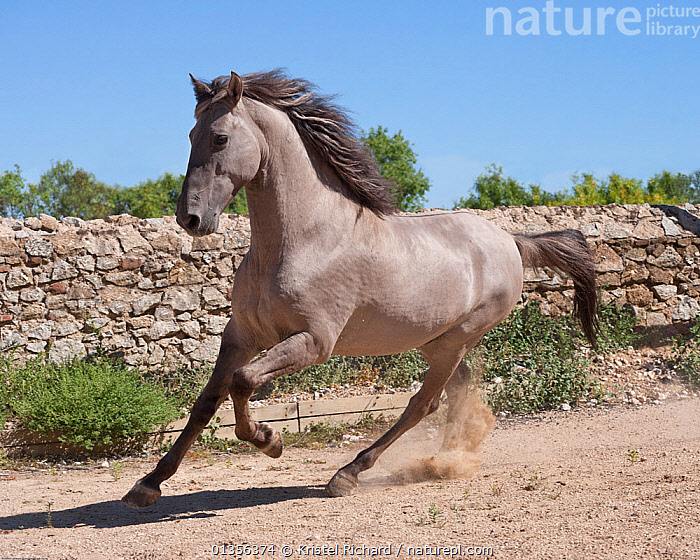 A rare Sorraia stallion cantering, Coudelaria Nacional (National Stud Farm), in Alter do Chao, District of Portalegre, Alentejo, Portugal.  ,  ACTION,Alentejo,Alter do Chao,catalogue4,Coudelaria Nacional,dirt track,District of Portalegre,dust,energetic,EUROPE,galloping,grey,grey colour,Horse,HORSES,male animal,MALES,MAMMALS,motion,MOVEMENT,Nobody,on the move,one animal,PERISSODACTYLA,Pony,PORTUGAL,rare breed,RESERVE,RUNNING,rural,Sorraia,stone wall,VERTEBRATES,Equines  ,  Kristel Richard