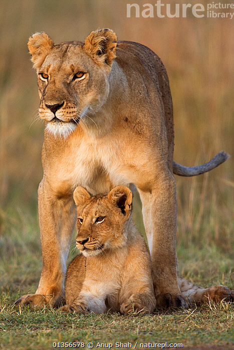 Lioness and cub aged 12-18 months (Panthera leo). Masai Mara National Reserve, Kenya  ,  AFRICA,BABIES,BIG CATS,CARNIVORES,CUBS,EAST AFRICA,FELIDAE,FEMALES,JUVENILE,LIONS,MAMMALS,MATERNAL,MOTHER AND BABY,NR,PARENTAL,PORTRAITS,PROTECTIVE,VERTEBRATES,VERTICAL,YOUNG  ,  Anup Shah