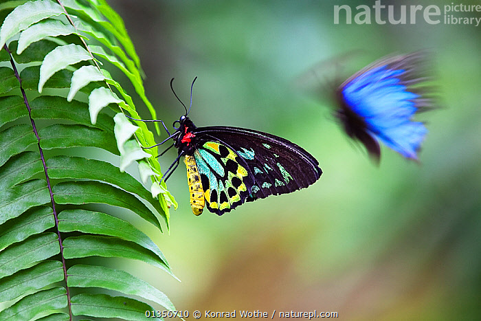 Cairns birdwing butterfly (Ornithoptera priamus) male on fern leaf and Blue Mountain Swallowtail butterfly in flight, Atherton Tablelands, Queensland, Australia, October  ,  animal marking,Atherton Tablelands,AUSTRALIA,BUTTERFLIES,catalogue4,close up,COLOURFUL,contrasts,differential focus,FLYING,focus on foreground,INSECTS,INVERTEBRATES,LEPIDOPTERA,MIXED SPECIES,motion,Nobody,PROFILE,queensland,selective focus,side view,SWALLOWTAIL BUTTERFLIES,TROPICAL,TROPICAL RAINFOREST,two,two animals,WILDLIFE  ,  Konrad Wothe