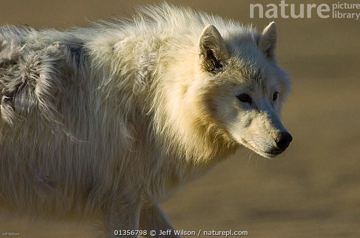 Adult Arctic wolf (Canis lupus) Ellesmere Island, Nunavut, Canada, June 2008. Taken on location for BBC series, Frozen Planet, Summer  ,  ARCTIC,CANADA,CANIDAE,CANIDS,CARNIVORES,MAMMALS,POLAR,PORTRAITS,TUNDRA,VERTEBRATES,WHITE,WOLVES,North America,Dogs  ,  Jeff Wilson