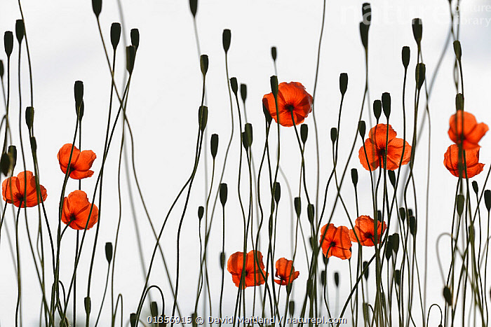 Long-headed Poppy (Papaver dubium) flowers and seedheads  against sky, growing on wasteland next to car-park, Calne, Wiltshire, UK, June. SPECIALLY COMMENDED, In Praise of Plants category, WILDLIFE PHOTOGRAPHER OF THE YEAR  2011 competition, ARTY SHOTS,beauty in nature,Calne,catalogue4,DICOTYLEDONS,ENGLAND,EUROPE,flowerhead,FLOWERS,full frame,GROWTH,large group of objects,nature,Nobody,optimism,PAPAVERACEAE,PLANTS,RED,seedhead,SILHOUETTES,studio shot,UK,wasteland,white background,Wiltshire,Concepts,United Kingdom, David Maitland