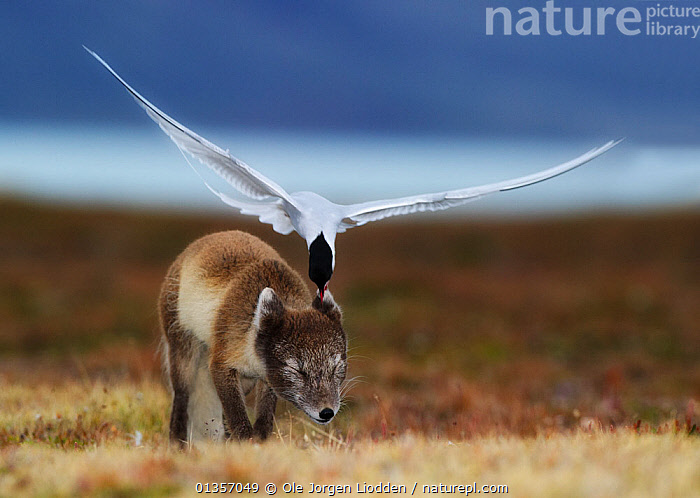 Arctic tern (Sterna paradisaea) attacking an Arctic Fox (Vulpes / Alopex lagopus) protecting its nest site, Spitsbergen, Svalbard, Norway. Highly commended, MAMMALS,  GDT 2011 competition, ACTION,AGGRESSION,Alopex lagopus,animal ear,animals in the wild,ARCTIC,Arctic Fox,attacking,BEHAVIOUR,BIRDS,Canidae,CARNIVORES,catalogue4,DEFENSIVE,EARS,EUROPE,EXPRESSIONS,eyes closed,facial expression,FLYING,FOXES,HUMOROUS,INTERACTION,MAMMALS,mid air,mischief,MIXED SPECIES,Nobody,NORWAY,pain,SEABIRDS,spitsbergen,Sternidae,Svalbard,TERNS,TUNDRA,two animals,VERTEBRATES,Vulpes lagopus,WILDLIFE,wings spread,wingspan,Concepts,Scandinavia, Ole Jorgen Liodden