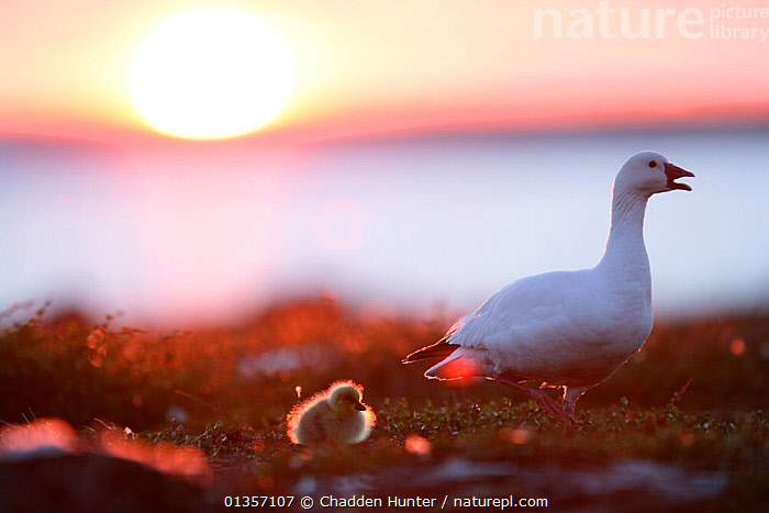 Snow goose with gosling (Chen caerulescens) at sunset. Taken on location for BBC Frozen Planet series, 2008  ,  BABIES, BIRDS, catalogue4, chen caerulescens, chick, CHICKS, DUSK, Evening, female animal, FEMALES, Following, GEESE, gosling, JUVENILE, mother and young, MOTHER-BABY, new life, Nobody, POLAR, protection, SUN, SUNSET, twilight, two animals, VERTEBRATES, VOCALISATION, WALKING, WATERFOWL, WILDLIFE, YOUNG, young animal  ,  Chadden Hunter