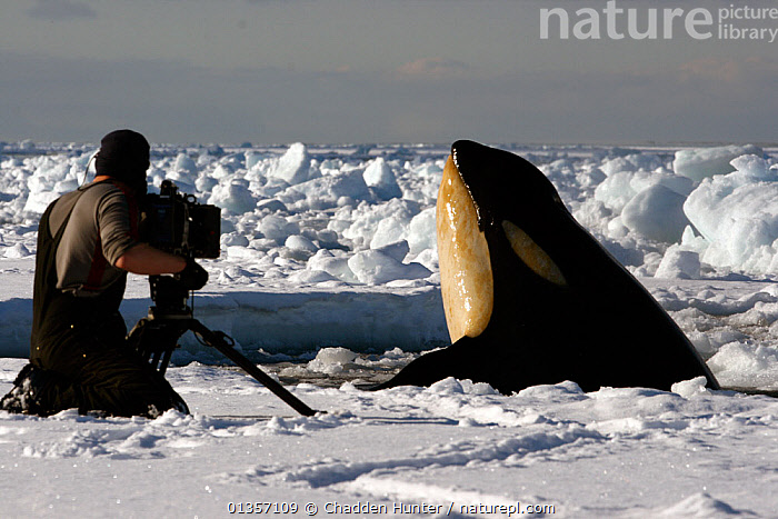 Filming on the Antarctic sea-ice at the edge of a small hole. A cameraman gets a shock when a Killer whale (Orcinus orca) mother and calf explode out of the water in front of his face.  Taken on location for BBC Frozen Planet series, 2010  ,  Anarctic,animal theme,ANTARCTICA,BBC,BEHAVIOUR,camera,camerman,catalogue4,CETACEANS,CONCENTRATION,emergence,encounter,equipment,female animal,FILMING,full length,ICE,INTERACTION,killer whale,kneeling,MAMMALS,MAN,MARINE,mid adult,NHU,one animal,one person,Orcinus orca,PEOPLE,POLAR,rear view,sea ice,SIZE,SNOW,spyhopping,WHALES,WILDLIFE,WORKING  ,  Chadden Hunter