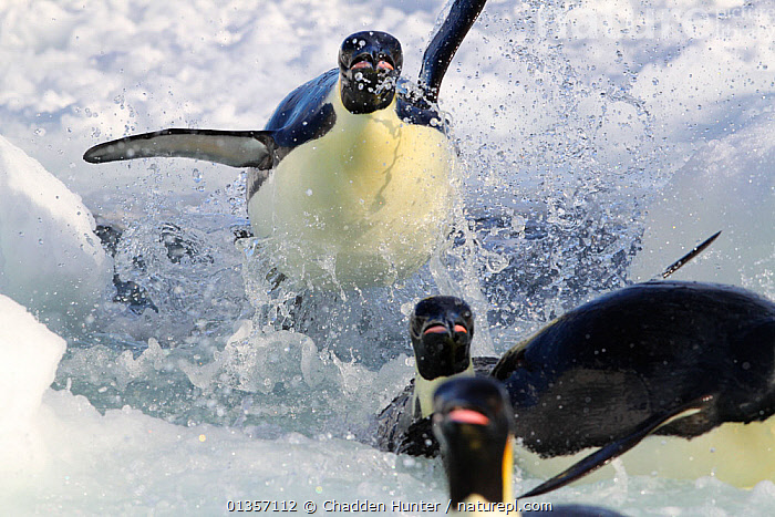 Emperor penguins (Aptenodytes forsteri) explode out of the water, returning to breed at Cape Washington, Antarctica.  Taken on location for BBC Frozen Planet series, 2009, ACTION,animals in the wild,ANTARCTICA,BIRDS,Cape Washington,catalogue4,coastal,COASTS,DETERMINATION,effort,emergence,energetic,FLIGHTLESS,FLYING,Following,four animals,front view,ICE,LANDING,MARINE,Nobody,on the move,PENGUINS,POLAR,Pursuit,runing,sea,SEABIRDS,SPEED,splashing,THREE,VERTEBRATES,WATER,wet,WILDLIFE,CONCEPTS, Chadden Hunter