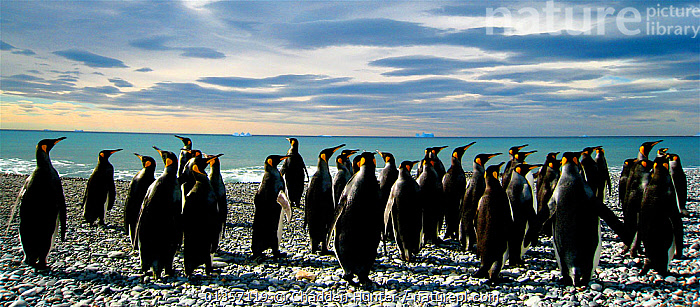 King penguins (Aptenodytes patagonicus) on beach, South Georgia.  Taken on location for BBC Frozen Planet series, 2008, animals in the wild,beach,BEACHES,BIRDS,catalogue4,CLOUDS,coastal,COMMUNICATION,Community,discussion,Falkland Islands,FLIGHTLESS,GROUPS,horizon,horizon over water,large group of animals,MARINE,Nobody,PANORAMIC,panoramic image,PENGUINS,POLAR,sea,SEABIRDS,SKIES,SOUTH ATLANTIC ISLANDS,SOUTH GEORGIA,STANDING,VERTEBRATES,view to sea,WATER,WILDLIFE,Weather, Chadden Hunter