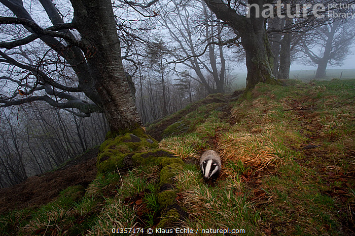 Badger (Meles meles) foraging in woodland on edge of forest, Black Forest, The Black Forest, Germany, May. Highly commended in Mammals category, GDT competition 2011  ,  animals in the wild,BADGERS,Black Forest,CARNIVORES,catalogue4,elevated view,EUROPE,FORAGING,forest,GERMANY,HABITAT,HIGH ANGLE SHOT,hillside,MAMMALS,MIST,misty,MUSTELIDS,Nobody,on the move,one animal,TREES,VERTEBRATES,WILDLIFE,woodland,WOODLANDS,PLANTS  ,  Klaus Echle