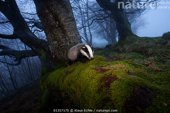 Young Badger (Meles meles) foraging in woodland on edge of woodland, The Black Forest, Germany, May  ,  BADGERS,CARNIVORES,EUROPE,GERMANY,HABITAT,JUVENILE,MAMMALS,MOSS,MUSTELIDS,TREES,VERTEBRATES,WOODLANDS,PLANTS  ,  Klaus Echle