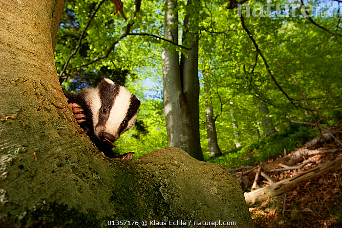 Young Badger (Meles meles) behind trunk of a Beech tree, Black Forest, Germany, April  ,  BADGERS,CARNIVORES,EUROPE,Fagus,GERMANY,JUVENILE,LOW ANGLE SHOT,MAMMALS,MUSTELIDS,TREES,TRUNKS,VERTEBRATES,WOODLANDS,PLANTS  ,  Klaus Echle