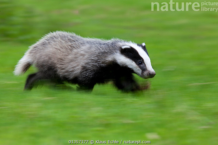 Badger (Meles meles) running,  Black Forest, Germany, May  ,  ACTION,BADGERS,BEHAVIOUR,Blurred,CARNIVORES,CUTE,EUROPE,GERMANY,GREEN,MAMMALS,MOVEMENT,MUSTELIDS,RUNNING,SPEED,VERTEBRATES  ,  Klaus Echle