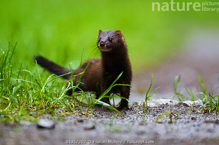 European Mink (Mustela lutreola) female on a forest road. Critically endangered. Saarland, Germany, August.  ,  CARNIVORES,CONSERVATION,ENDANGERED,FEMALES,MUSTELIDS,VERTEBRATES,CRITICALLY ENDANGERED,EUROPE,GERMANY,MAMMALS,PORTRAITS,WEASELS  ,  Florian Möllers