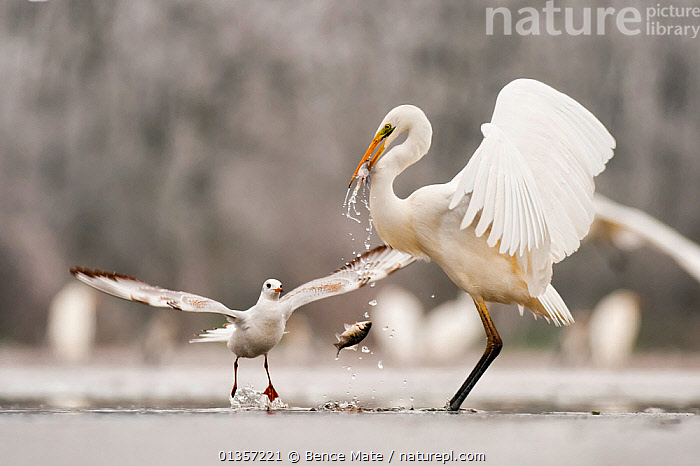 Great egret (Ardea alba) drops a fish from its beak and a Black headed gull (Larus ridibundus) flies in to catch it. Lake Csaj, Kiskunsagi NP, Hungary, January. Winner, Eric Hosking award, 2011 Wildlife Photographer of the Year competition, BEHAVIOUR, BIRDS, CASMERODIUS ALBUS, EASTERN-EUROPE, EUROPE, FEEDING, FISHING, great white heron, GULLS, HERONS, HUNGARY, ICE, LAKES, MIXED-SPECIES, SEABIRDS, theft, thief, VERTEBRATES, WATER, WHITE, WINTER, Bence Mate