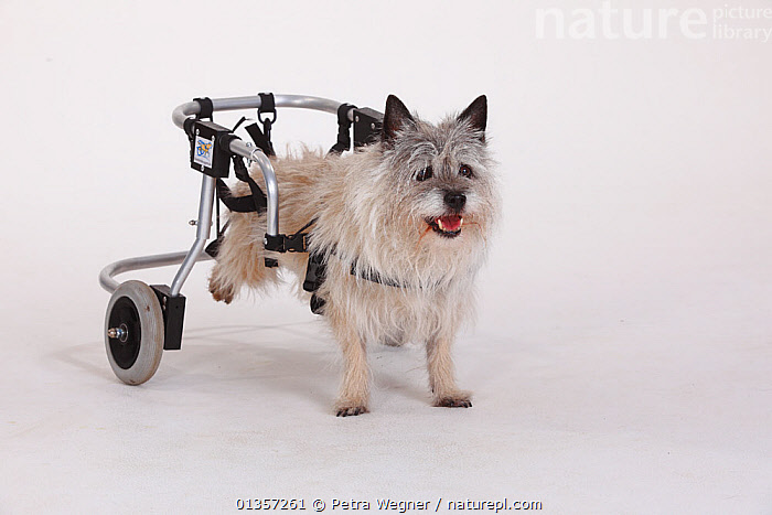 Disabled Cairn terrier with wheelchair supporting hind legs  ,  CANIDAE,CUTOUT,DOGS,HANDICAPPED,INJURED,PETS,SMALL DOGS,STUDIO,TERRIERS,VERTEBRATES,WHEELCHAIRS,Canids  ,  Petra Wegner
