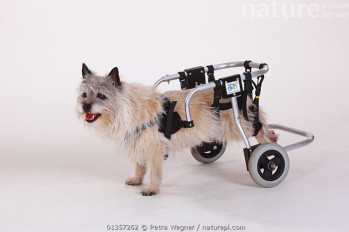Disabled Cairn terrier with wheelchair supporting hind legs  ,  CANIDAE,CUTOUT,DISABLED,DOGS,HANDICAPPED,PETS,PORTRAITS,SMALL DOGS,STUDIO,TERRIERS,VERTEBRATES,WHEELCHAIRS,Canids  ,  Petra Wegner
