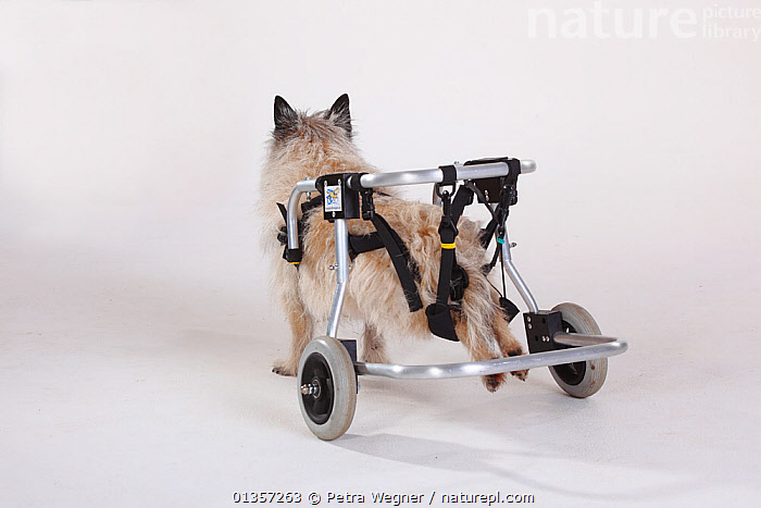 Rear view of disabled Cairn terrier with wheelchair supporting hind legs  ,  CANIDAE,DISABLED,DOGS,HANDICAPPED,PETS,SMALL DOGS,STUDIO,TERRIERS,VERTEBRATES,WHEELCHAIRS,Canids  ,  Petra Wegner