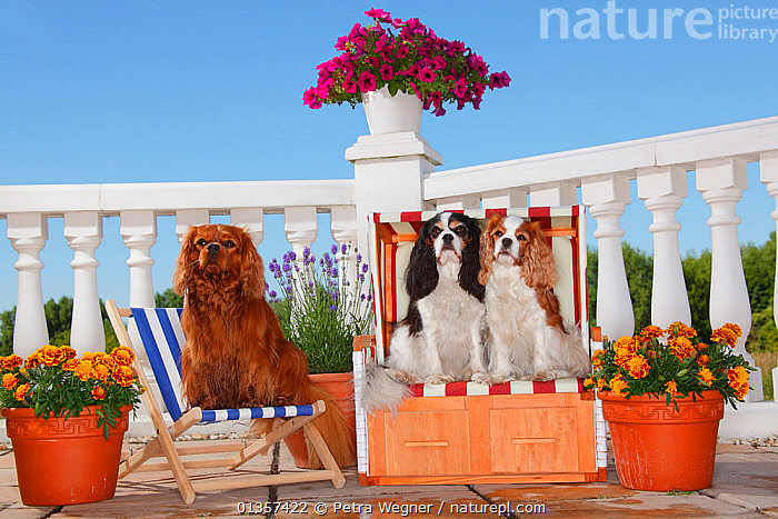 Three Cavalier King Charles Spaniels, tricolour and blenheim sitting on beach chair, ruby on deckchair. Property released.  ,  BEHAVIOUR,BLENHEIM,CANIDAE,CHAIRS,DOGS,FLOWERS,HUMOROUS,OUTDOORS,PETS,RUBY,SITTING,SMALL DOGS,THREE,TOY DOGS,TRICOLOUR,VERTEBRATES,Concepts,Canids,Catalogue5  ,  Petra Wegner