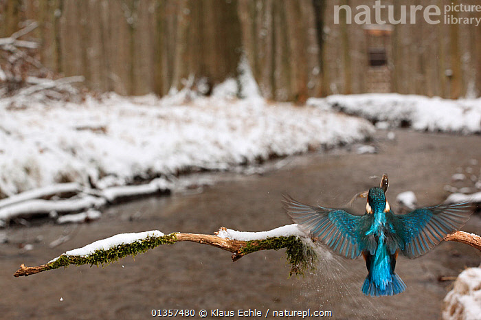 Kingfisher (Alcedo atthis) flying with fish  to branch over snow banked stream. Black Forest, Germany, January., ALCEDINIDAE,BEHAVIOUR,BIRDS,EUROPE,FEEDING,FISH,FLYING,FORESTS,GERMANY,HABITAT,KINGFISHERS,PREDATION,PREY,RIVERS,SNOW,STREAMS,VERTEBRATES,WOODLANDS, Klaus Echle