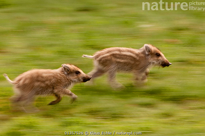 Wild Boar (Sus scrofa) piglets running. Black Forest, Germany, April.  ,  ARTIODACTYLA,EUROPE,GERMANY,MAMMALS,PIGS,RUNNING,SUIDAE,TWO,VERTEBRATES,YOUNG  ,  Klaus Echle