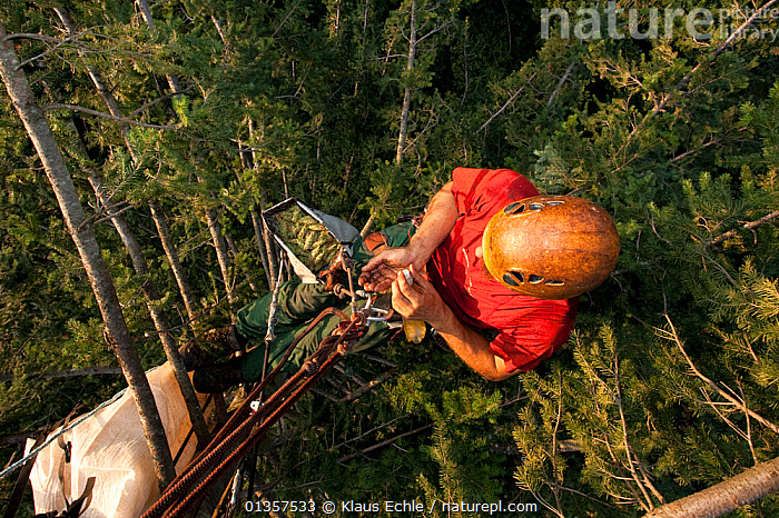 Climber in the canopy of a Douglas Fir tree (Pseudotsuga menziesii) harvesting cones. Black Forest, Germany, August., CONIFERS,EUROPE,GERMANY,GYMNOSPERMS,HARVEST,HIGH ANGLE,OUTDOORS,PEOPLE,PINACEAE,PINES,PLANTS, Klaus Echle