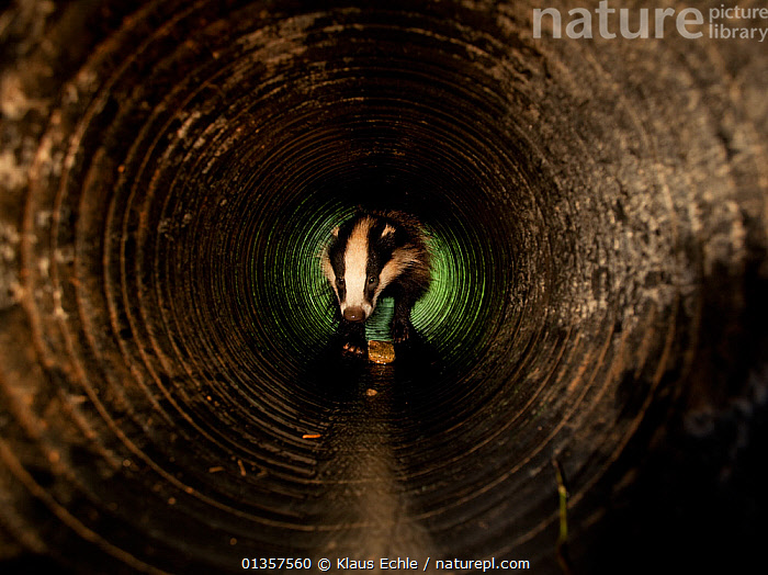 Badger (Meles meles) walking through a drainage pipe. Black Forest, Germany, July., BADGERS,CARNIVORES,EUROPE,GERMANY,MAMMALS,MUSTELIDS,VERTEBRATES, Klaus Echle