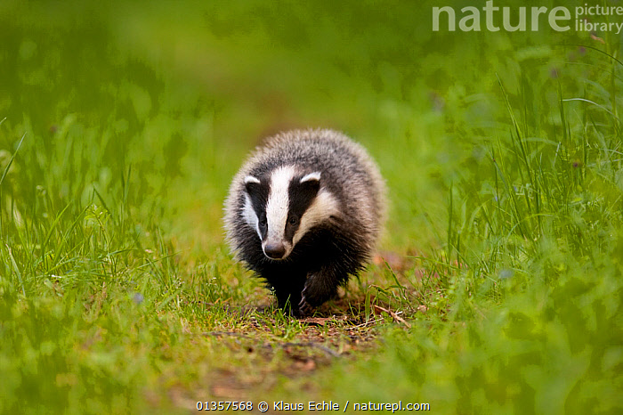 Badger (Meles meles) on path. The Black Forest, Germany, May.  ,  BADGERS,CARNIVORES,EUROPE,GERMANY,MAMMALS,MUSTELIDS,PORTRAIT,VERTEBRATES,WALKING  ,  Klaus Echle
