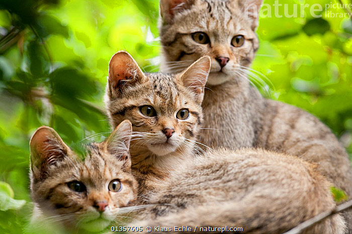 Three young Wildcats (Felis silvestris). Rhine Valley near Frieburg, Germany, July., CARNIVORES,CATS,CUTE,EUROPE,GERMANY,MAMMALS,PORTRAITS,THREE,VERTEBRATES,WILDCAT,YOUNG, Klaus Echle