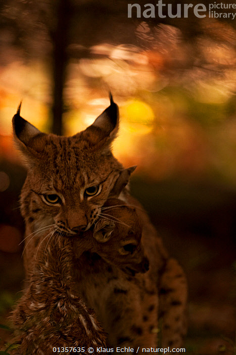 Lynx (Lynx lynx) holding its fawn kill by the neck. The Black Forest, Germany, October. Captive  ,  ATMOSPHERIC,BEHAVIOUR,Black Forest,captive animal,CARNIVORES,catalogue4,CATS,DEATH,DEER,EUROPE,Evening,fawn,FEEDING,food chain,front view,GERMANY,holding in mouth,light,MAMMALS,MIXED SPECIES,Nobody,PREDATION,prey,two animals,VERTEBRATES,VERTICAL,WILDLIFE,young animal  ,  Klaus Echle