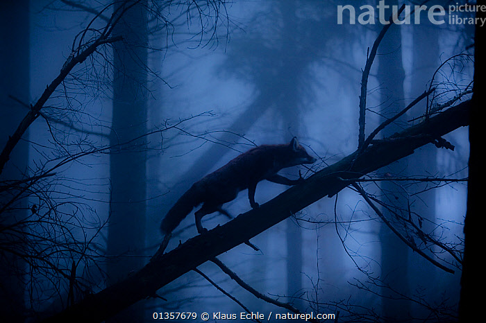 Red Fox (Vulpes vulpes) walking along a fallen trunk, silhouetted in misty forest. Black Forest, Germany, November.  ,  ARTY SHOTS,ATMOSPHERIC,BEHAVIOUR,CANIDS,CARNIVORES,CLIMBING,DARK,EUROPE,FORESTS,FOXES,GERMANY,HABITAT,HALLOWEEN,MAMMALS,MIST,SCARY,SILHOUETTES,VERTEBRATES,WOODLANDS,Dogs  ,  Klaus Echle