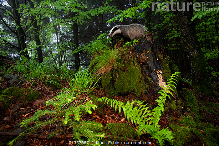 Badger (Meles meles) standing on rock on forest floor. The Black Forest, Germany, May.  ,  BADGERS,CARNIVORES,EUROPE,FORESTS,GERMANY,HABITAT,MAMMALS,MUSTELIDS,VERTEBRATES,WOODLANDS  ,  Klaus Echle