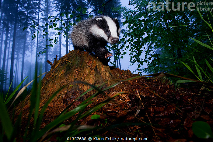 Young Badger (Meles meles) in misty forest. The Black Forest, Germany, May.  ,  BADGERS,CARNIVORES,EUROPE,FORESTS,GERMANY,HABITAT,LOW ANGLE SHOTS,MAMMALS,MIST,MUSTELIDS,PORTRAITS,VERTEBRATES,WOODLANDS  ,  Klaus Echle