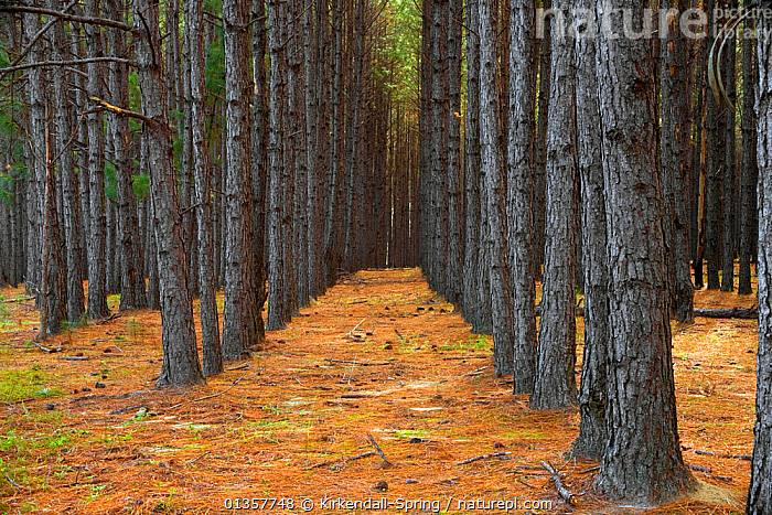 Rows of pine trees in Pine forest plantation along Highway 203, Applin County, Georgia, USA, November 2008  ,  ABSTRACT,Applin County,ARTY SHOTS,BARK,catalogue4,forest,FORESTRY,full frame,Georgia,Highway 203,in a row,land management,LANDSCAPES,large group of objects,LINES,nature,Nobody,perspective,PINE TREE ,PLANTATIONS,planteation,reforestation,TREES,treetrunk,TRUNKS,USA,Plants,North America  ,  Kirkendall-Spring