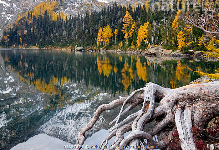 Larch trees in autumn colour at Larch Lake in the Chiwaukum Mountain Range of the Alpine Lakes Wilderness, Washington, USA, October 2009, ALPINE,Alpine Lakes Wilderness,AUTUMN,catalogue4,Chiwaukum Mountain Range,COLD,forest,Lake,LAKES,LANDSCAPES,Larch Lake,larch tree,Mountain,MOUNTAINS,Mountainside,Nobody,reflection,REFLECTIONS,rocky mountains,ROOTS,scenery,Scenic,SNOW,TREES,USA,Washington,WATER,woodland,YELLOW,PLANTS,North America, Kirkendall-Spring