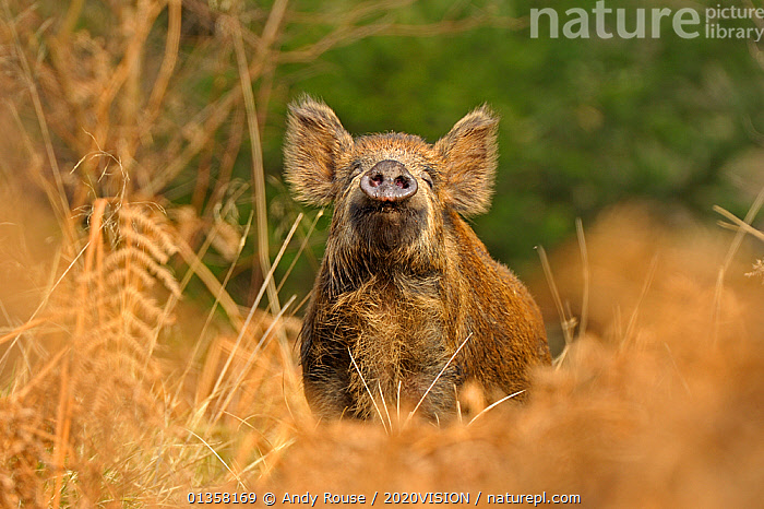 Wild Boar (Sus scrofa) female smelling air for scent of human, Forest of Dean, Gloucestershire, UK, March  ,  2020VISION,ARO_WILDBOAR_032011_AA100228A,ARTIODACTYLA,BEHAVIOUR,ENGLAND,EUROPE,FEMALES,FORESTS,MAMMALS,NOSES,PIGS,RESERVE,SCENTING,SMELLING,SNIFFING,SUIDAE,UK,VERTEBRATES,WOODLANDS,United Kingdom,2020cc  ,  Andy Rouse / 2020VISION
