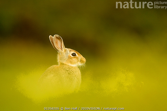 Young European rabbit (Oryctolagus cuniculus) sitting in long grass, Murlough Nature Reserve, Co Down, Northern Ireland, UK, June. Did you know? Only female rabbits burrow.  ,  BOGS,PEATLAND,2020VISION,EUROPE,GREEN,IRELAND,JUVENILE,LAGOMORPHS,MAMMALS,NORTHERN IRELAND,PEATLAND RESTORATION,PEATLANDS,PORTRAITS,picday,RABBITS,RESERVE,SOFT FOCUS,UK,ULSTER,VERTEBRATES,United Kingdom,Wetlands  ,  Ben Hall / 2020VISION