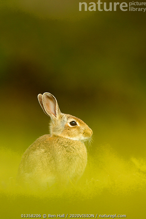 Young European rabbit (Oryctolagus cuniculus) sitting in long grass, Murlough Nature Reserve, Co Down, Northern Ireland, UK, June  ,  BOGS,PEATLAND,2020VISION,CUTE,EUROPE,IRELAND,JUVENILE,LAGOMORPHS,MAMMALS,NORTHERN IRELAND,PEATLAND RESTORATION,PEATLANDS,RABBITS,RESERVE,SOFT FOCUS,UK,ULSTER,VERTEBRATES,VERTICAL,United Kingdom,Wetlands,2020cc  ,  Ben Hall / 2020VISION