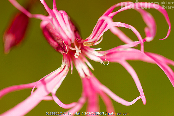 Ragged robin (Silene flos-cuculi) close-up of flower, Montiagh's Moss, County Antrim, Northern Ireland, UK, June. Did you know? Ragged robin gets it's name from it's thin tattered looking petals.  ,  2020VISION, ARTY-SHOTS, BOGS, CARYOPHYLLACEAE, CLOSE-UPS, DICOTYLEDONS, picday, EUROPE, FLOWERS, picday,IRELAND, northern-ireland, peatland, peatland restoration, peatlands, PINK, PLANTS, RESERVE, UK, ULSTER,Wetlands,United Kingdom,2020cc  ,  Ben Hall / 2020VISION