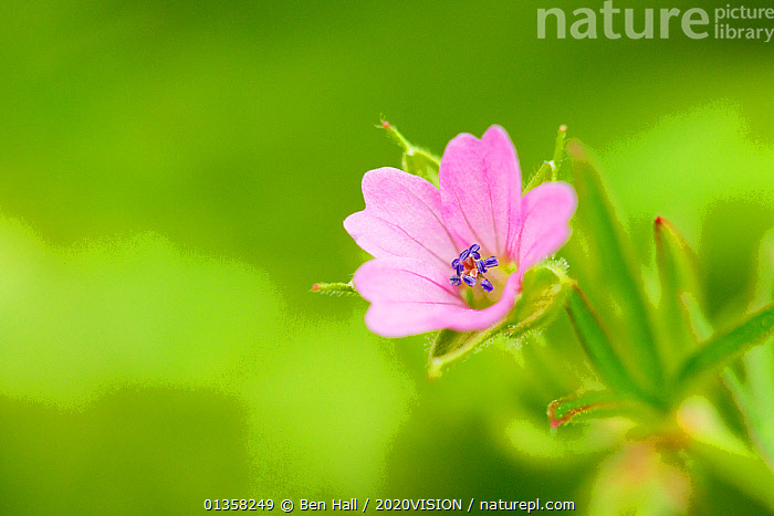 Cranesbill geranium (Geranium sp) flower, Montiagh's Moss, County Antrim, Northern Ireland, UK, June. Did you know? Geraniums are known as Cranesbills due to the shape of the fruit capsule.  ,  BOGS,PEATLAND,2020VISION,DICOTYLEDONS,EUROPE,FLOWERS,GERANIACEAE,IRELAND,MACRO,NORTHERN IRELAND,PEATLAND RESTORATION,PEATLANDS,picday,PINK,PLANTS,UK,ULSTER,United Kingdom,Wetlands,2020cc  ,  Ben Hall / 2020VISION
