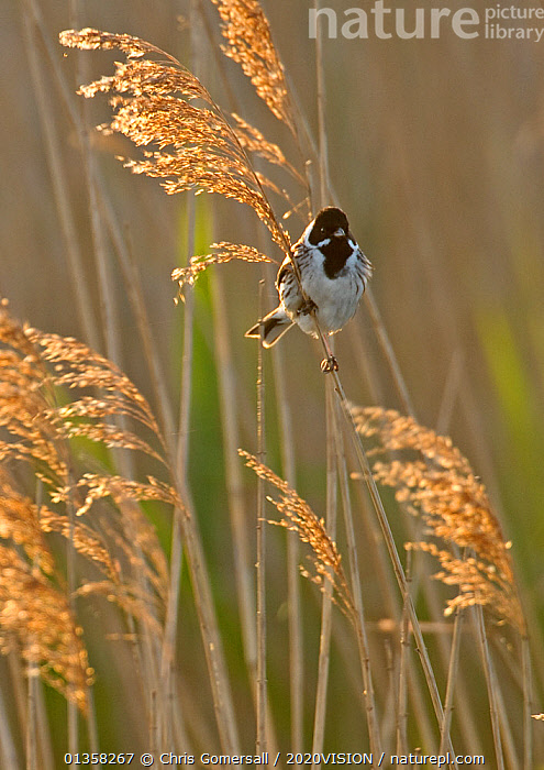 Reed bunting (Emberiza schoeniclus) adult male perched in reedbed, Norfolk, UK, May. 2020VISION Book Plate.  ,  2020VISION,2020vision book plate,BIRDS,BUNTINGS,EMBERIZA,Emberizidae,ENGLAND,EUROPE,FLOWERS,GRASSES,MALES,MARSHES,Phragmites,reed,reedbed,reeds,songbirds,UK,VERTEBRATES,VERTICAL,WETLANDS,United Kingdom,2020cc  ,  Chris Gomersall / 2020VISION