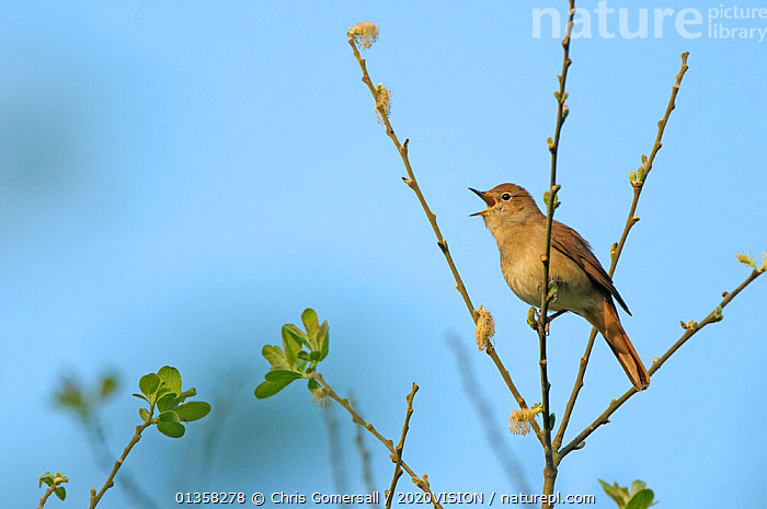 Common nightingale (Luscinia megarhynchos) adult perched, singing, Cambridgeshire, UK, April. Photographer quote: 'Nightingales are more renowned for the beauty of their song than their looks. You are lucky to glimpse even 10% of those you hear, and only a small fraction of those will grant you a clear view - this one being especially bold.' Did you know? Male nightingales may have over 250 versions of their melodic song.  ,  2020VISION,BEHAVIOUR,BIRDS,ENGLAND,ERITHACUS,EUROPE,MUSCICAPIDAE,picday,singing,songbirds,UK,VERTEBRATES,VOCALISATION,WETLANDS,United Kingdom,2020cc  ,  Chris Gomersall / 2020VISION